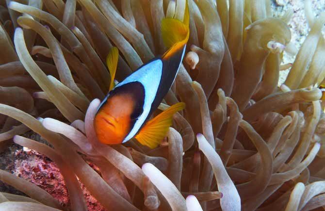 Clownfish Translator